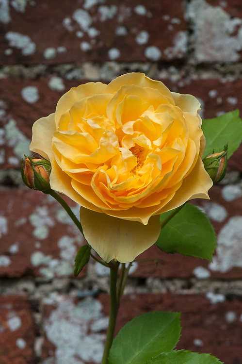 Rosa Graham Thomas ('Ausmas'), mid June. A rich yellow English rose from David Austin first introduced in 1983.