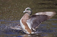 American wigeon drake (Anas americana) drying wings.  Pacific N.W.  Winter.