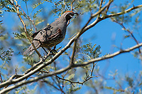 Male Gambel's Quail, Callipepla gambelii, perches in a Mesquite tree in the Desert Botanical Garden, Phoenix, Arizona