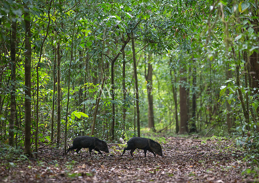 Collared peccaries cross the trail in Corcovado National Park.