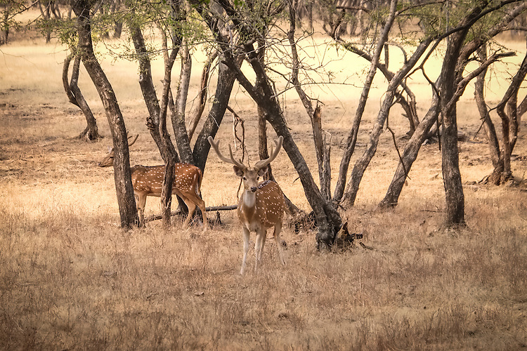 The Chital deer are among several species of deer found within the wild beauty of Ranthambhore national park.