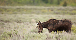 A bull moose grazes in Grand Teton National Park, Wyoming.