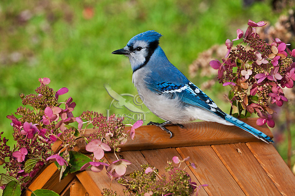 Blue Jay (Cyanocitta cristata) in backyard garden with hydrangeas. Autumn. Nova Scotia, Canada.
