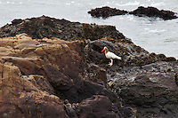 A leucistic (pale, though not albino) Black oystercatcher on the rocks near Pigeon Point Lighthouse on New Year's Day, 2011.