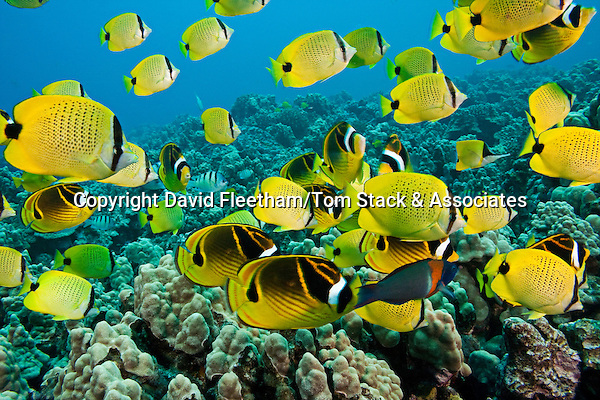 A reef scene with schooling milletseed butterflyfish, Chaetodon miliaris, endemic, and raccoon butterflyfish, Chaetodon lunula, Hawaii.