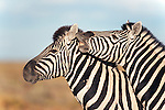 Burchell's zebras, Equus burchelli, with foal, Etosha national park, Namibia