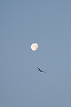 17th November - Red Kite & Moon
