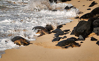 Turtles arriving on beach at Ho'okipa Beach Park, Maui, Hawaii