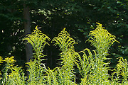 Golden Rod -Salidago- in a New England forest during the summer months. The Golden Rod is part of the Aster family.