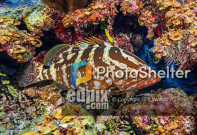 23 July 2015: A Nassau Grouper, Epinephelus striatus, swims on the reef at Main Street, on the North Shore of Grand Cayman Island. Located in the British West Indies in the Caribbean, the Cayman Islands are renowned for excellent scuba diving, snorkeling, beaches and banking.  Mandatory Credit: Ed Wolfstein Photo *** RAW (NEF) Image File Available ***