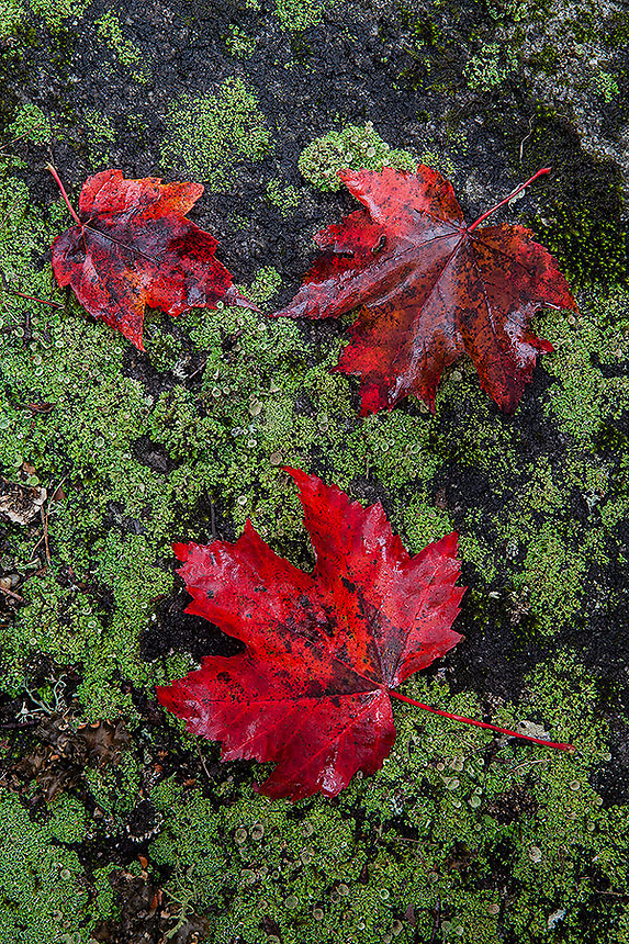 Three maple leafs lye peacefully in Groton SF, Vermont