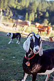 "USA, Oregon, Willamette Valley, ""Goteo"" the goat stands in the yard at Big Table Farms Winery, Gaston"