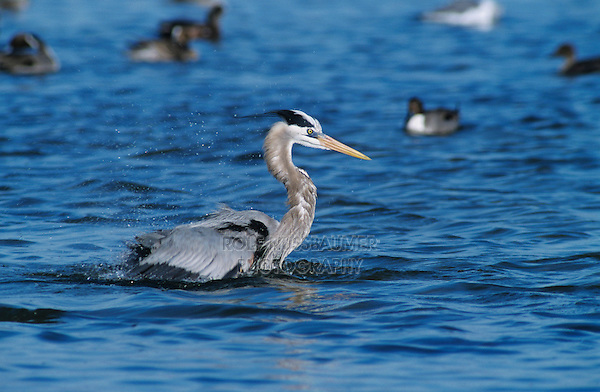 Great Blue Heron, Ardea herodias, adult bathing, Rockport, Texas, USA, March 2001