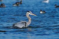 Great Blue Heron, Ardea herodias, adult bathing, Rockport, Texas, USA, March 2001