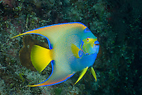 Queen Angelfish, Holacanthus ciliaris, Freeport, Grand Bahama, Bahamas, Atlantic Ocean
