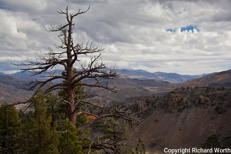 A bare tree stands overlooking the eastern Sierras on Sonora Pass.