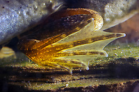Bullfrog Tadpole (Lithobates catesbeianus or Rana catesbeiana) Image showing webbed feet of a tadpole. (do) (c)