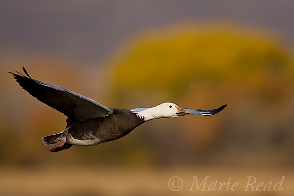 Snow Goose (Chen caerulescens), adult blue form, in flight in autumn, Bosque Del Apache National Wildlife Refuge, New Mexico, USA