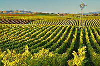 Fine art landscape image of rows of green Napa grapevines, with lines of vineyards leading into center of frame, accented by tall windmill on right, all lit with golden late afternoon sun, revealing sculpture detail in distant rolling hills, in Napa-Carneros nothern California wine district.