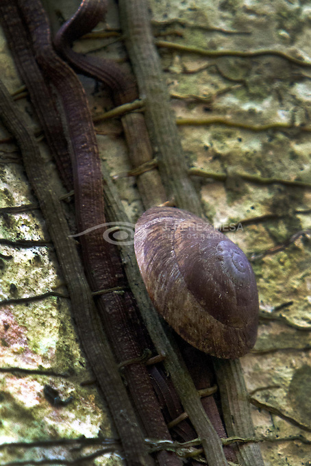 Land Snail (Caracolus caracola) at Santa Ana Environmental Center, Bayamon, Puerto Rico. The Center is located at Julio Enrique Monagas Park, a wildlife refuge.