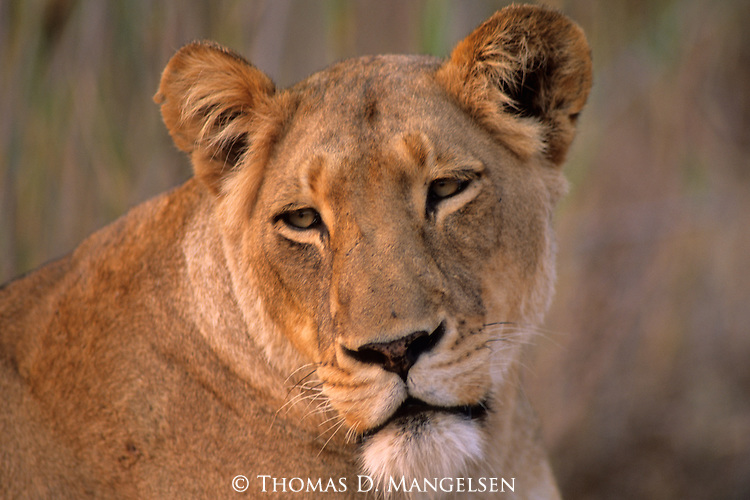 Portrait of Lioness (Panthera leo) on the Zambezi River in Zimbabwe, South Africa