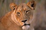 Portrait of Lioness (Panthera leo) on the Zambezi River in Zimbabwe, South Africa