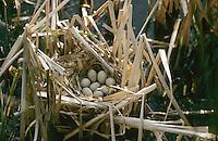 Teichralle, Ei, Eier, Gelege im Nest, Teich-Ralle, Grünfüssiges Teichhuhn, Teich-Huhn, Gallinula chloropus, moorhen