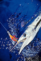short-billed spearfish, Tetrapterus angustirostris, hooked with Hawaiian jet head trolling lure, offshore, Kona Coast, Big Island, Hawaii, USA, Pacific Ocean