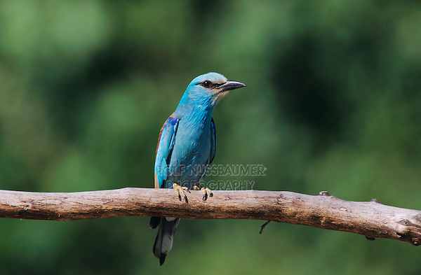 European Roller, Coracias garrulus,adult, Samos, Greek Island, Greece, May 2000