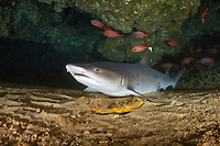 whitetip reef shark, Triaenodon obesus, resting in lava tube cave, First Cathedral, Lanai, Hawaii, USA, Pacific Ocean
