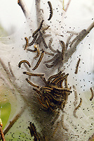TENT CATERPILLAR NEST<br /> Nest With Larvae<br /> The larvae hatch in early spring from eggs laid the previous autumn in cylindrical bands around host trees. They spin a silken web across the branches, forming a tent-like nest that provides a community shelter during the larval stage.