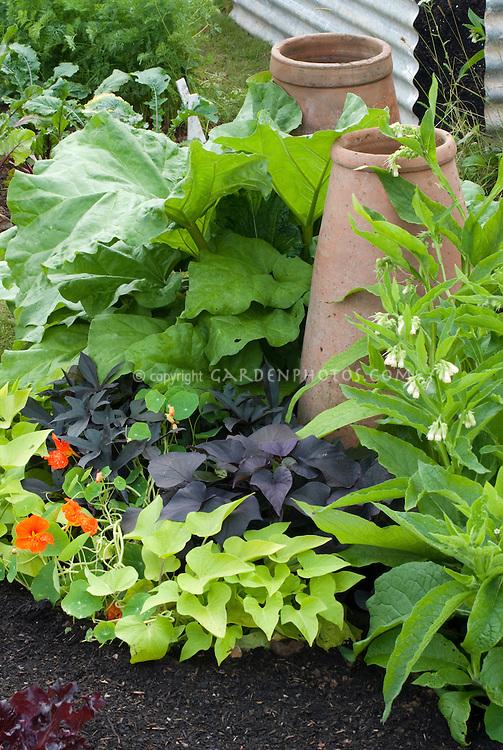 Rhubarb vegetable growing in garden, forcing pots cloches, Ipomoea batatus cvs sweet potato vines, nasturtiums, comfrey
