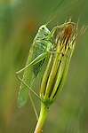 Great Green Bush Cricket, Tettigonia viridissima, side view showing whole body and wings, Provence.France....