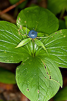 Vierblättrige Einbeere, Frucht, Paris quadrifolia, Herb Paris