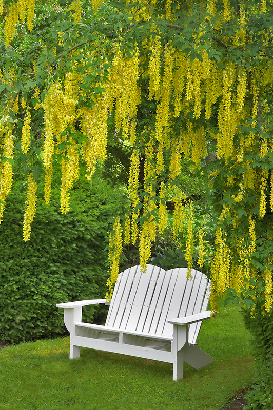 Bench and Golden Chain tree. Schreiner's Iris Gardens. Oregon