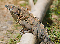 Black spiny-tailed iguana, Ctenosaura similis, near the Tarcoles River, Costa Rica