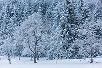 Europe/Allemagne/Bade-Würrtemberg/Forêt Noire/Env de Münstertal: Neige sur la Forêt Noire