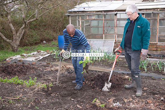Men digging out parsnips on an allotment.