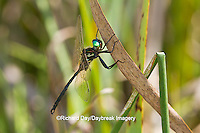 06544-00219 Hine's Emerald dragonfly (Somatochlora hineana) male perched in Barton Fen, Reynolds Co., MO
