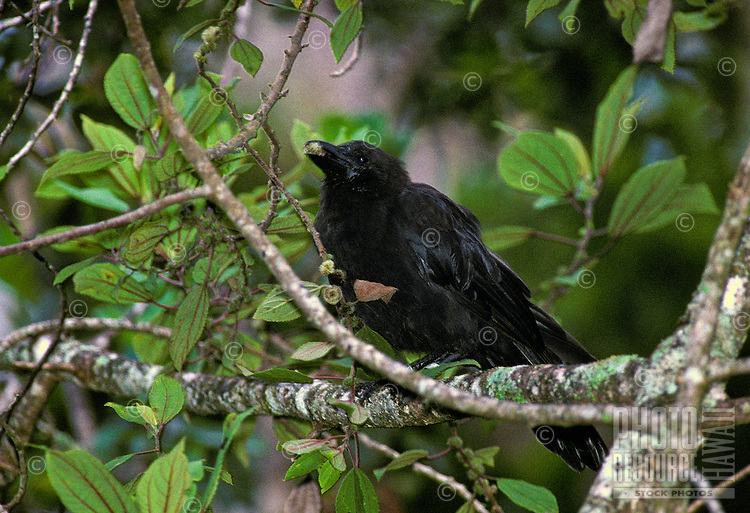 Endangered Hawaiian crow or alala, (corvus hawaiiensis). This forest bird is found on Hawaii island only.