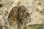 Wild Iberian  Lynx sitting in field resting