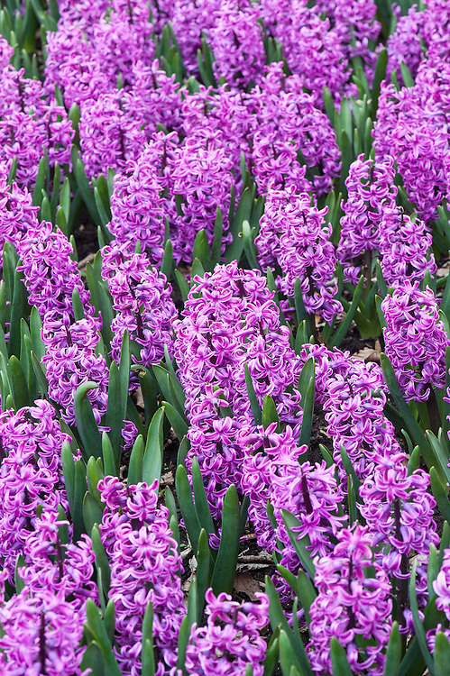 Hyacinthus orientalis 'Paul Hermann', mid April. A tall hyacinth with vivid purple-pink flowers.