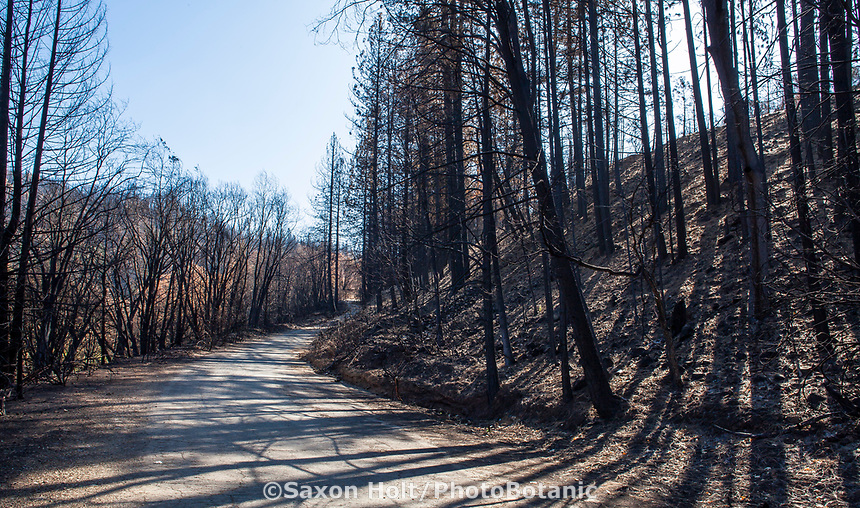 Forest service road through charred forest, Delta Fire aftermath; Shasta-Trinity National Forest, California