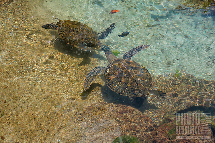 Two honu (or green sea turtles) swim over a reef, O'ahu.