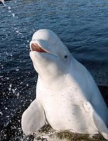 Beluga whale (Delphinapterus leucas), Kareliya, Russia, White Sea, Arctic Ocean, Europe
