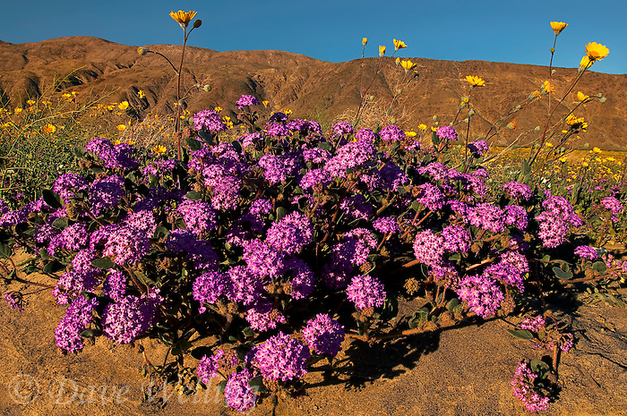 712000125 a spring display of colorado desert wildflowers including desert sand verbena abronia villosa dune primrose oenothera deltoides and dune marigold baileya pleniradiata in anza borrego desert state park california