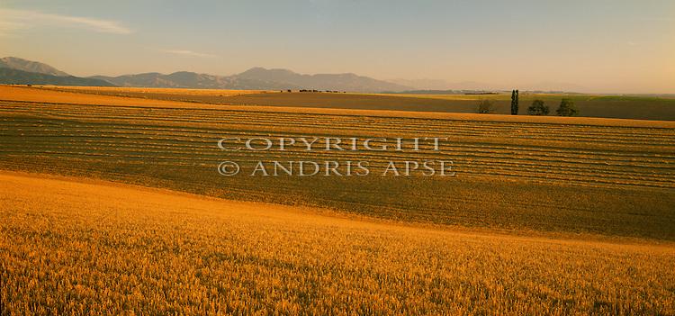 Ripe barley field near Temuka, Canterbury Region. New Zealand.