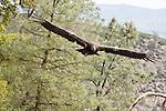 California Condor (Gymnogyps californianus) three year old male flying, Pinnacles National Park, California