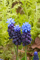 Blue & yellow plant color combination in spring of Muscari latifolia Grape Hyacinths against Tanacetum vulgare 'Isla Gold'