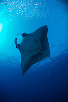 Manta rays swimming underwater around the coast of Maui, Hawaii,this gentle giants live in Hawaiian water year round.<br />